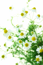 May, June and July: Chamomile
