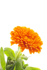February, March and April: Calendula
